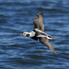 long tailed duck - M (Michelle w.h. Xu) Tags: long tailed duck male bird blue water lake ontario winter black white nature wildlife wildnature wild photographer coth5 live national home geography animal animals