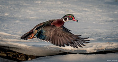 Wood Duck (Melissa M McCarthy) Tags: woodduck duck bird animal nature outdoor wildlife wild male drake colorful vibrant winter snow ice inflight bif flying motion conceptionbaysouth newfoundland canada canon7dmarkii canon100400isii