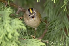 Goldcrest (Regulus regulus) (PhasmatosOculus) Tags: march2019 march 2019 goldcrest regulus regulusregulus bird birds wildlifeanimal wildlife animal animals wildlifeanimals longthorpe peterborough cambridgeshire matthewfarrugia matthew farrugia centricmalteser canon7dmkii canon 7d mkii eos7dmkii canoneos7dmkii eos canoneos eastanglia 7dmkii phasmatosoculus
