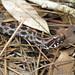 Pygmy Rattlesnake 1877