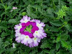 Verbena (M.P.N.texan) Tags: verbena plant flower flwers flowering bloom blooms blooming pottedplant