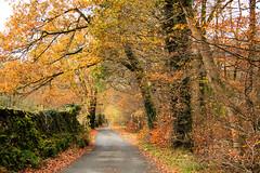 Bog Lane (maureen bracewell) Tags: lakedistrict autumn landscape leaves road trees walking wall cumbria england uk moss foliage countrylane colourful nature maureenbracewell boglane