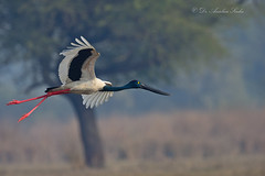 The Giant Progress... (Anirban Sinha 80) Tags: nikon d610 fx 500mm f4 ed vrii n g 17xtc 850mm bird stork bokeh habitat beak wings inflight