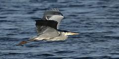 heron_5342 (marsh and moor) Tags: nikon d850 wildlife nature bird heron stodmarshnnr