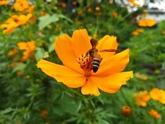 🐝 (binethshalika) Tags: bee honey