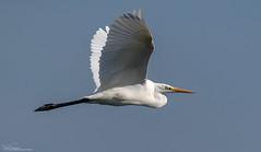 Great White Egret (Steve (Hooky) Waddingham) Tags: animal planet countryside bird british nature wild wildlife flight fishing