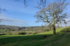 Green and pleasant land (Chris Morriss) Tags: england derbyshire cromford greenandpleasant englishfields oaktree