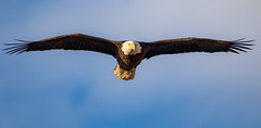 Bald Eagle (Lynn Tweedie) Tags: baldeagle beak tail wing canon ngc clouds loessbluffsconservationarea blue 7dmarkii missouri sigma150600mmf563dgoshsm sky eos feathers animal bird