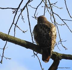 Red-tailed Hawk_N8394 (Henryr10) Tags: ottoarmlederpark hamiltoncountyparkdistrict cincinnati ottoarmledermemorialpark armlederpark littlemiamiriver greatparksofhamiltoncounty usa beanfield overlookwoods