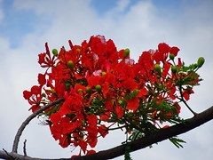 Tropical blossoms (peggyhr) Tags: peggyhr flowers branch dsc09795a panamacity green red blue sky clouds carolinasfarmfriends thegalaxy thegalaxystars thegalaxylevel2 thegalaxyhalloffame thelooklevel1red thelooklevel2yellow 50faves thelooklevel3orange thegalaxystarshof