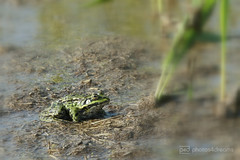 frog (event-photos4dreams (www.photos4dreams.com)) Tags: gersprenz münster hessen germany naturschutz nabu naturschutzgebiet photos4dreams p4d photos4dreamz nature river bach flus susannahvictoriavergau susannahvvergau eventphotos4dreams canoneos5dmarkiii canoneos5dmark3