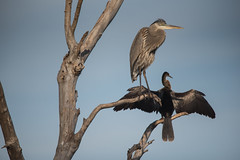 Bird Friends (ap0013) Tags: florida fl fla bird birds animal nature wildlife circleb barreserve lakeland heron anhinga