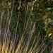 2012-02-20 TEC Savanna-0336 Schizachyrium sanguineum- E.P. Mallory