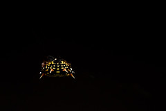 20190127190754 -_.jpg (Paul Wood Photography) Tags: australia australiancapitalterritory wildlife orbweaver spinyorbweaver spider act gasteracantha spinybackedorbweaver