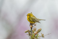Prairie Warbler (Joe Branco) Tags: branco birds bird joe lightroom photoshop canada ontario wildlife wildlifephotographer tree green nature grass nikond850 joebrancophotographer prairiewarbler
