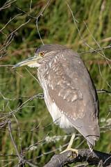 Snoozing Night Heron (MelRoseJ) Tags: sanfrancisco california unitedstates us nature birds palaceoffinearts blackcrownednightheron