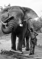 Refugee (DEARTH !) Tags: africa krugernationalpark africanelephant southafrica travel elephants animals elephant dearth safari