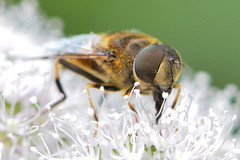 I got hair in my eyes (silwermannen) Tags: bee flie bigeyes hairy wasp nikon anderstorp sweden sverige