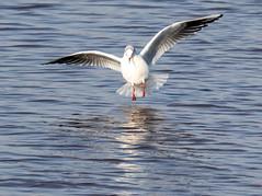 Gull landing (Liam Waddell) Tags: bird sky ayrshire irvine scotland river garnoch gull water sand