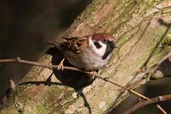0M2A4379 Tree Sparrow (kevin_livesey) Tags: wildlife nature wetlands martinmere wwt birdwatching bird treesparrow