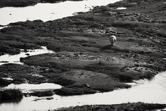Lonelhippo (Nugohs1) Tags: kruger sanpark wild animal blackandwhite noiretblanc southafrica africa afriquedusud hippo hippopotame lonely seul
