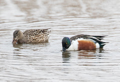 7K8A0792 (rpealit) Tags: scenery wildlife nature edwin b forsythe national refuge brigantine northern shoveler duck bird