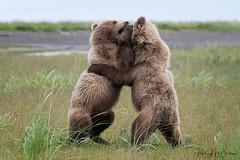 _HB30206 (Hilary Bralove) Tags: lakeclarknationalparkbrownbearsbearsalaskanikonwildlifegrizzlygrizzlybearbrownbearanimalswildlifephotographer alaksa brownbears grizzlybears bear bears grizzly brownbeargrizzly bearlake clarkwildlifealaska wildlifenikonlake clark national park