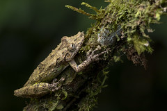 Boulenger's Snouted Treefrog (Scinax boulengeri) (Hamilton Images) Tags: boulengerssnoutedtreefrog scinaxboulengeri frog amphibian bocatapada costarica canon 5dmarkiv 180mm macro january 2019 juancarlosvindasphototours neotropicphototours imgdl7a0873