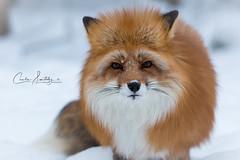 Mikkel Rev (CecilieSonstebyPhotography) Tags: ef70200mmf28liiisusm portrait fox winter february canon snow norway mikkelrev fur beautiful pretty canon5dmarkiii white rev redfox namsskogan red animal rødrev specanimal her