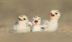 Three Siblings (Cameron Darnell) Tags: conservation beach summer june 2018 birding camerondarnell bird cute leasttern
