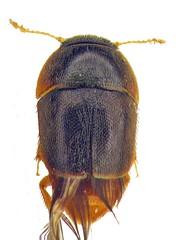 Phytotelmatrichis mcclarini nov. sp.copy (mcclarinj) Tags: phytotelmatrichismcclarini phytotelmatrichis ptiliidae cosanga napo ecuador jimmcclarin