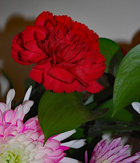 Bouquet Of Flowers. (dccradio) Tags: lumberton nc northcarolina robesoncounty indoor indoors inside flower floral flowers bouquet valentinesdaybouquet valentinesday carnation daisy february winter morning saturday saturdaymorning goodmorning nikon d40 dslr white pink red