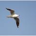 Black-headed Gull (1e winter) - Kokmeeuw (1e winter) (Larus ridibundus)