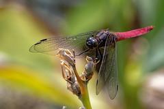 Dragonfly - 020619 (r.rybicki) Tags: bug china dragonfly guangzhou lakeluhu