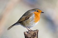 Robin 02-Feb-19 G_018 (gomo.images) Tags: 2019 bird country fife mortonlochs nature robin scotland years