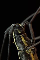 Taeniotes scalatus (Cerambycidae) (Scrubmuncher) Tags: beetle longhorn taeniotesscalatus cerambycidae osapeninsula costarica macro