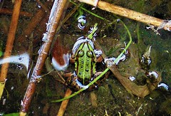 Green frog (Elena SGnight) Tags: frog lake water nature space natural forest landscape animal animals wild frogs green eyes