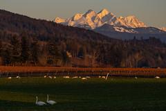 Bird View (jcurtis4082) Tags: hopewell 40150mm goldenhour deming twinsisters sunset em1 bird raspberries lawrence squalicum vines wa swan dike olympus