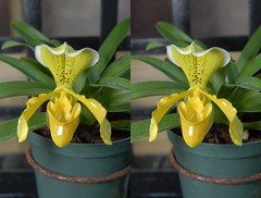 Orchid rendered as a Stereoscopic 3D image. (Bill A) Tags: orchids stereoscopic botanicalgardens stereoscopy orchid rawlingsconservatory