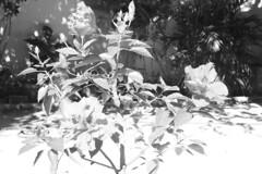 20110728HibiscoDobrado01 (carlosribeirobh) Tags: flor pb hibisco jardim