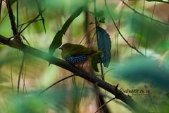 Green Twinspot, Kurisa Moya, Magoebaskloof, Limpopo, Dec 2018 (roelofvdb) Tags: 2019 835 date december greentwinspot kurisamoya limpopo magoebaskloof place southernafricanbirds twinspot twinspotgreen year