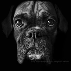 Queen of the house (dog ma) Tags: faith fawn boxer dog ma pet portrait jodytrappephotography nikon d750 nikkor 50mm cute adorable blackandwhite black white k9 canine boxerdog