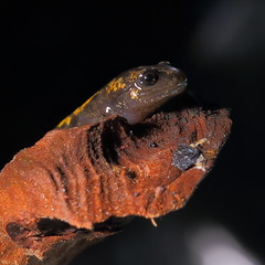 Salamandra-de-fogo, salamandra-comum ou salamandra-de-pintas-amarelas (Salamandra salamandra) (Mago62) Tags: macro mago62 mariogomes salamandra salamandrasalamandra anfíbio salamdradefogo salamandradepintasamarelas salamandradospoços