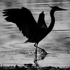 FM5A0324 (Kemp Davis) Tags: wildlife nature aquaticbird greatblueheron