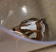 Window wing moth Glyphodes sp aff bivitralis Pyraustinae Crambidae Airlie Beach rainforest P1010871 (Steve & Alison1) Tags: window wing moth glyphodes sp aff bivitralis pyraustinae crambidae airlie beach rainforest