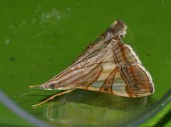 Squinty chook moth Glyphodes nyctealis Pyraustinae Crambidae Airlie Beach rainforest P1010989 (Steve & Alison1) Tags: squinty chook moth glyphodes nyctealis pyraustinae crambidae airlie beach rainforest