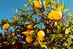 Orangers (Richard et Audrey) Tags: portugal algarve castromarim orange fruits sun