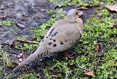 Mourning Dove, Adult (Zenaida macroura); Punta Gorda, FL, Charlotte Harbor Environmental Center [Lou Feltz] (deserttoad) Tags: nature animal park florida bird wildbird dove songbird refuge