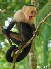 Angry Monkey....Young White-Headed Capuchin, Sapajou Capucin (Cebus capucinus). Parque Nacional Manuel Antonio. Costa Rica. 2015/02. (joelgambrelle) Tags: sebuscapucinus nature wildlife jungle manuelantonionationalpark costarica capucin monkey