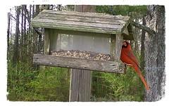cardinal (American Eagle 150) Tags: cardinal malenortherncardinal northerncardinal alabama 2019 usa america winter backyard backyardalabama wildlife alabamawildlife bird